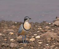 Egyptian Plover in The Gambia Royalty Free Stock Photos