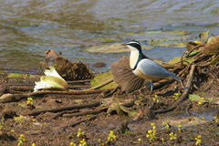 Egyptian plover in Gambia. Egyptyan plover (Pluvianus aegyptius) close to a pond in Gambia royalty free stock images