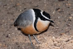 Egyptian plover (Pluvianus aegyptius) Royalty Free Stock Photography