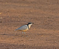 Egyptian Plover at Simenti Stock Photo