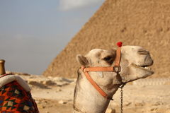 Egyptian pyramids. Camel in front of egyptian giza pyramid Stock Images