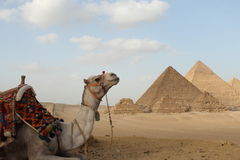 Egyptian pyramids. Camel in front of Egyptian giza three pyramids Royalty Free Stock Photography