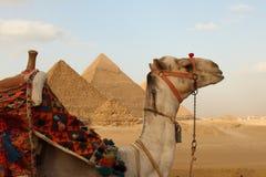 Egyptian pyramids. Camel in front of Egyptian giza three pyramids Stock Photos