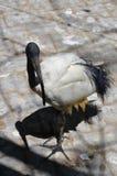 Egyptian sacred bird black ibis Threskiornis aethiopicus Stock Photography