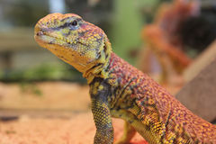 Egyptian spiny-tailed lizard (Uromastyx aegyptia) Stock Photography