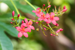 Egyptian Star Cluster flowers or Pentas Lanceolata in a garden. Stock Photo