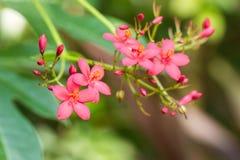 Egyptian Star Cluster flowers or Pentas Lanceolata in a garden. Stock Photo