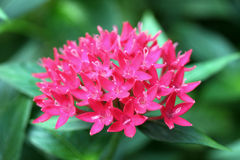 Egyptian starcluster (Pentas Lanceolata) Stock Photo