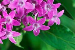 Egyptian starcluster Pentas lanceolata stock photography