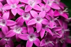 Egyptian starcluster Pentas lanceolata royalty free stock photos