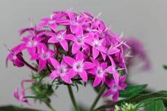 Egyptian starcluster Pentas lanceolata stock photos