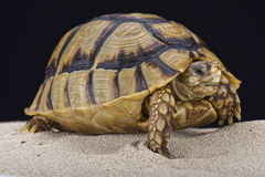 Egyptian tortoise (Testudo kleinmanni) Stock Photography