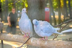 Egyptian turtledove sitting on wooden fence. Egyptian turtledove sitting on the wooden fence Stock Photography