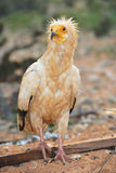 The Egyptian Vulture. Neophron percnopterus in the Socotra island Royalty Free Stock Photo