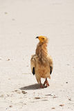 The Egyptian Vulture Stock Photo