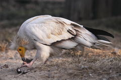 Egyptian vulture Royalty Free Stock Photography