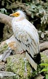 Egyptian vulture 2 Royalty Free Stock Photo