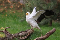 Egyptian vulture royalty free stock image