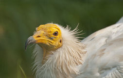Egyptian vulture. It is expressive head of Egyptian vulture Stock Photos