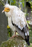 Egyptian vulture 3 Stock Image