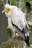 Egyptian vulture 3 Stock Image