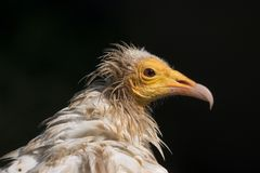 Egyptian Vulture. Egyptian or Scavenger Vulture with bad hair day Royalty Free Stock Image