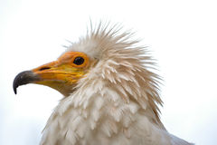 Egyptian vulture. Head of a Neophron percnopterus Royalty Free Stock Photos