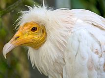 Egyptian vulture 4 Stock Photography