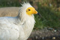 Egyptian Vulture Royalty Free Stock Photos