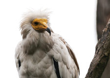 The egyptian vulture Royalty Free Stock Photo