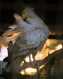 Egyptian Vulture. Backlit Royalty Free Stock Photo