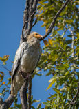 An Egyptian vulture Stock Image