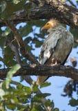 An Egyptian vulture Royalty Free Stock Photos