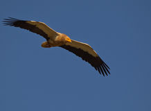 Egyptian Vulture in flight. The Egyptian Vulture (Neophron percnopterus) is one of the smaller vultures showing a typical naked yellow face Royalty Free Stock Photo