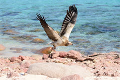 Egyptian vulture in flight over the coast of the Arabian sea Royalty Free Stock Photography