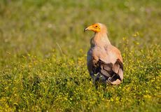 Egyptian vulture. Royalty Free Stock Images