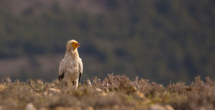 Egyptian Vulture on the ground. Royalty Free Stock Photo