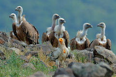 Egyptian vulture with group of Griffon Vulture, big birds of prey sitting on stone, rock mountain, nature habitat, Madzarovo, Bulg Royalty Free Stock Image