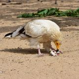 Egyptian vulture Royalty Free Stock Photo