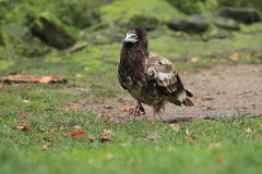 Egyptian vulture juvenile Royalty Free Stock Photos