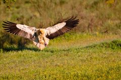 Egyptian vulture landing with outstretched wings. Royalty Free Stock Images