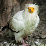 Egyptian Vulture (lat. Neophron percnopterus). On the ground Royalty Free Stock Images