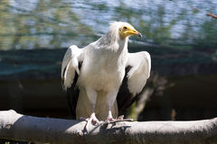 Egyptian vulture, Neophron p. percnopterus, feeds mainly on carrion Royalty Free Stock Photo