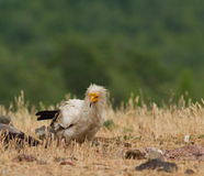 Egyptian Vulture (Neophron percnopterus) Stock Photos