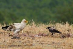 Egyptian Vulture (Neophron percnopterus). In Wildlife Reserve Madjarovo, Bulgaria Royalty Free Stock Photo