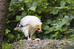 Egyptian vulture (Neophron percnopterus). An Egyptian vulture is eating chicken royalty free stock photos