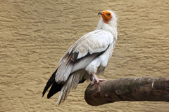 Free Egyptian Vulture (Neophron Percnopterus). Stock Image - 56358281