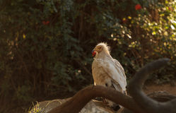 Egyptian vulture, Neophron percnopterus Royalty Free Stock Photography