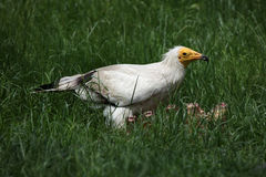 Egyptian vulture (Neophron percnopterus) Stock Photography
