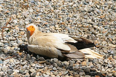 The Egyptian vulture (Neophron percnopterus) Royalty Free Stock Images